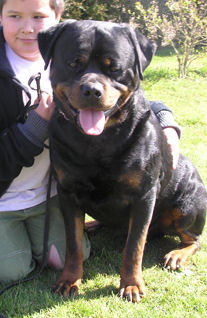 puppy rottweilers for sale